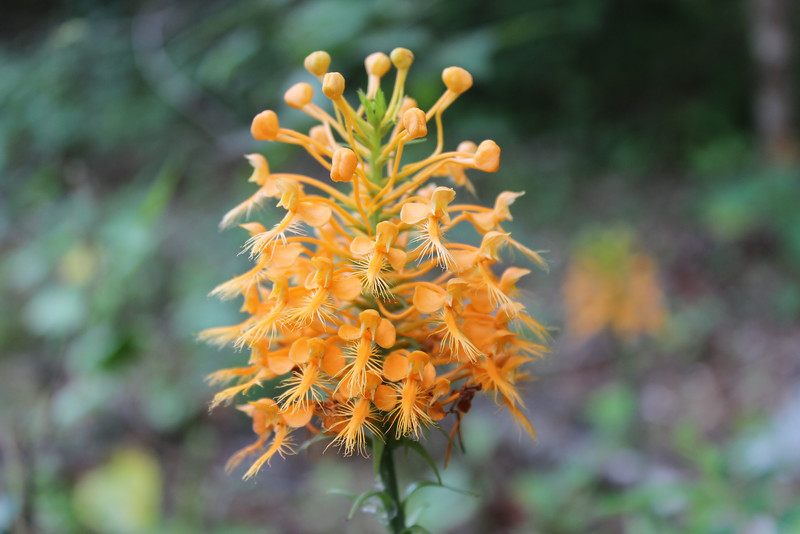 Yellow Fringed Orchid<br /> Platanthera ciliaris<br /> Native Orchid species that blooms in August. <br /> Jasper, TN
