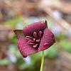Trillium sulcatum.. the Southern Red Trillium