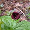 T. sulcatum Southern Red Trillium