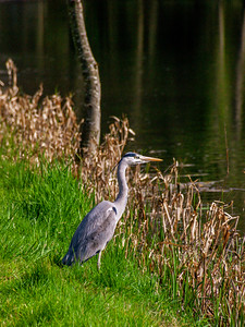 Heron on the Grand Canal towpath near Robertstown