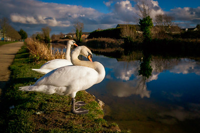 Swans on the Royal Canal at Ashtown