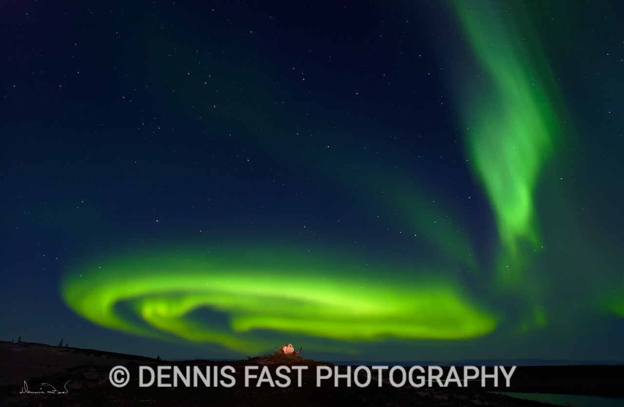 NORTHERN LIGHTS LANDSCAPE.  Some of my favourite aurora photos were made over this muskox skull in the Northwest Territories of Canada. When I saw this scene unfold in the distance, I ran as fast as I could to to get the skull into the photo with the swirling northern lights.