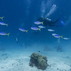 Yellowtail fusilier and scuba divers underwater, Barracuda Bommie Dive Site, Great Barrier Reef, Queensland, Australia
