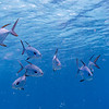 Fish Underwater, Barracuda Bommie Dive Site, Great Barrier Reef, Queensland, Australia