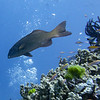 Fish swimming near coral, Barracuda Bommie Dive Site, Great Barrier Reef, Queensland, Australia