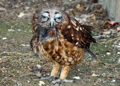 BOOBOCK OWL