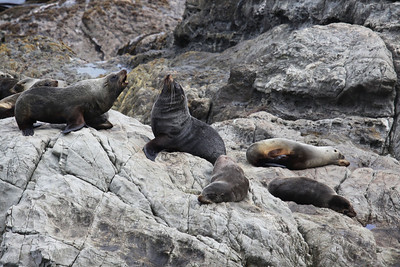 NEW ZEALAND FUR SEALS - KAIKOURA