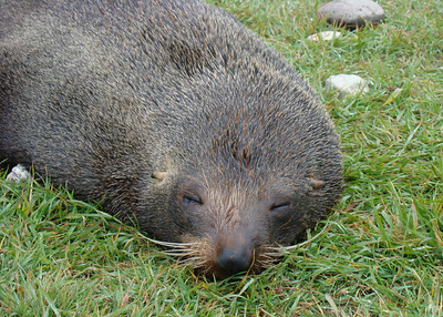NEW ZEALAND FUR SEAL - KAIKOURA