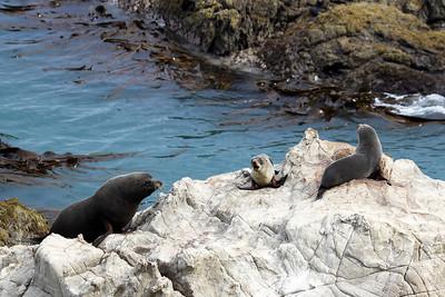 NEW ZEALAND FUR SEALS - SOUTH ISLAND