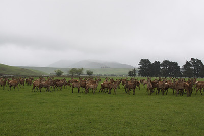 DEER FARM - SOUTH ISLAND