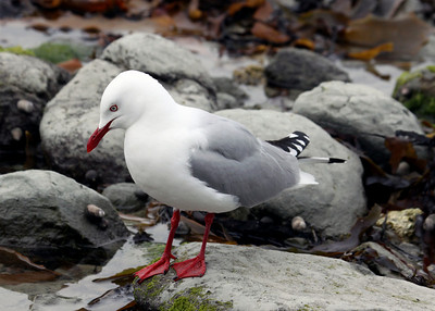 RED BEAKED GULL - KAIKOURA