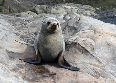 NEW ZEALAND FUR SEAL PUP - KAIKOURA