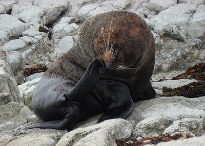 NEW ZEALAND FUR SEALS - SOUTH ISLAND
