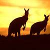 AUSTRALIAkangaroos