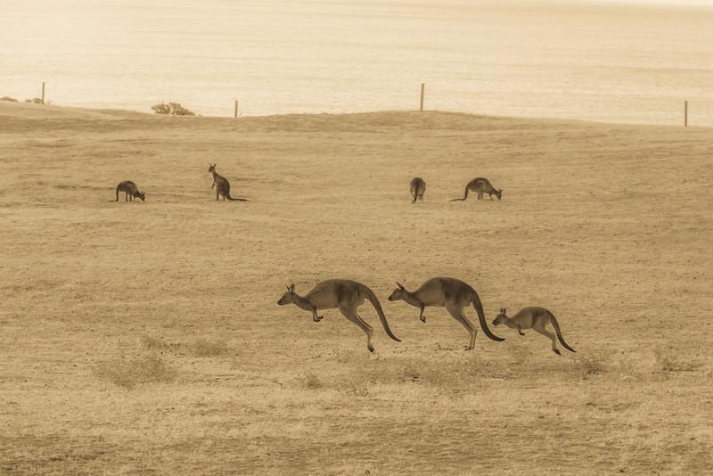Running Kangaroos