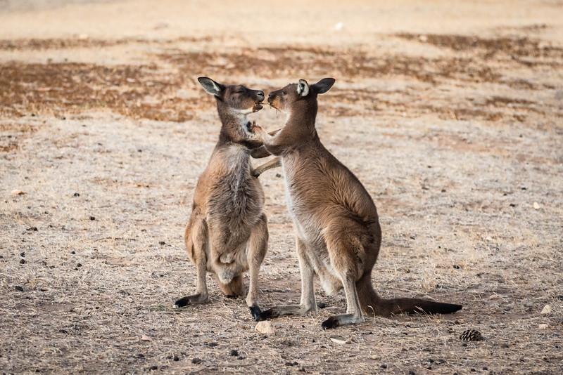 Kangaroos sharing dinner