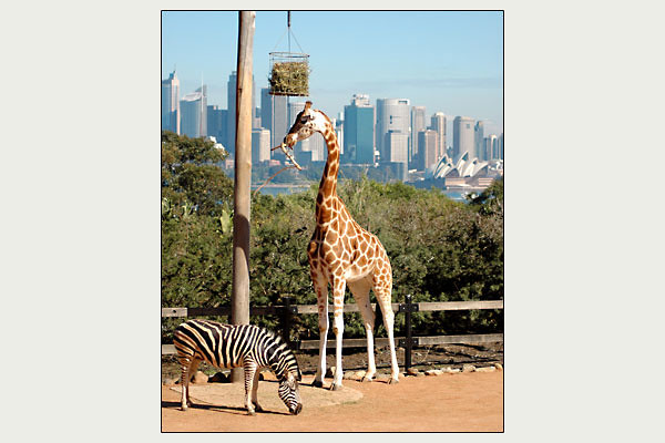Giraffe at Taronga Zoo<br /> Sydney, NSW