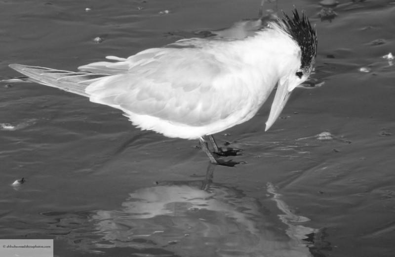 Royal Tern enjoying his reflection