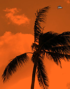 Item# 1189 Orange Filter Palm - Oahu Hawaii 11x14 Print copy