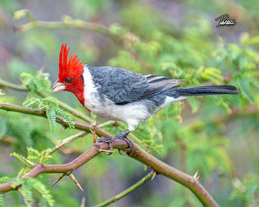 Item# 1210 - Red Crested Cardinal - (HDR) Oahu Hawaii  8x10 Print copy