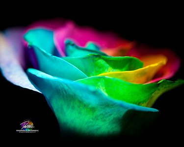 8X10 PHOTO 1 - Rainbow rose copy