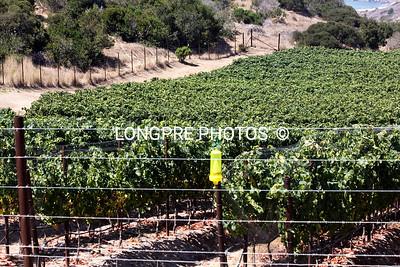 GRAPES growing at RANCHO ESCONDIDO.  CATALAN ISLAND, CA