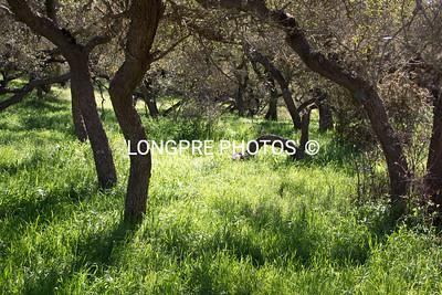 SCRUB OAK trees and fresh new grass.  Spring 2010.