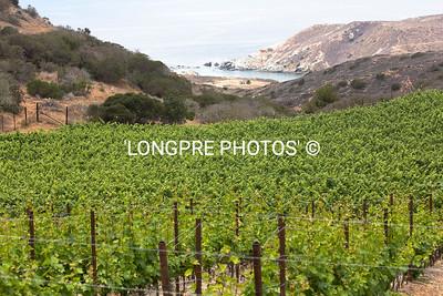 RANCHO ESCONDIDO vineyards.  SHARK HARBOR in background.