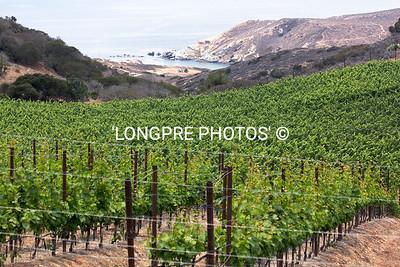 RANCHO ESCONDIDO vineyard.  Catalina Island