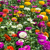 Zinnias and Tiger Swallowtail