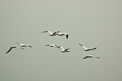 Flight of the Gannets