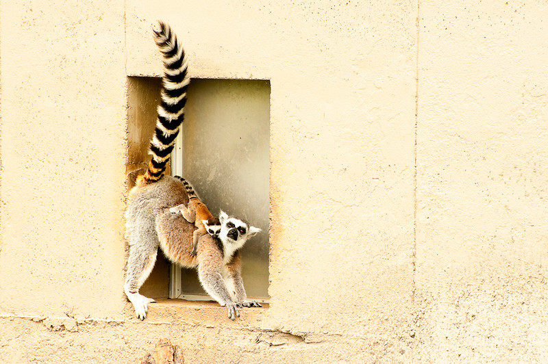 Lemur Motherhood