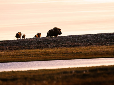 Muskox in the Arctic.
