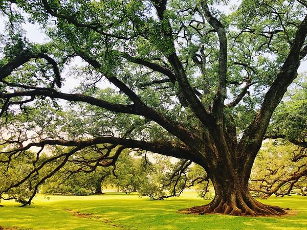 Oak in the Morning