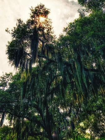Mighty Oaks in Adubon Park