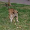 Sasha (girl 2m puppy)_001