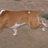 Horgo (boy pitbull)_002