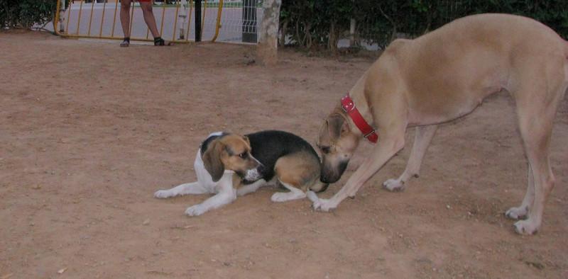Ayora dog (beagle), mimi_001