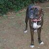 Ayora boxer dog_001