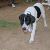 Braco (puppy boy)_002