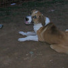 Aroma (girl puppy)_002