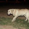 Bruce (pup boy golden)_001