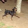 Brutus (minpin pup)_001