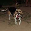 Duna (beagle)_001