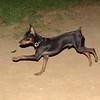 Brutus (minpin pup)_004