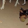 Brutus (minpin pup)_006
