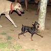 Brutus (minpin pup)_002