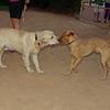Bruce, dog podenco_001