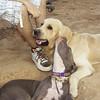 Bruce (golden, future 'king'), Naia (blue, pup pit bull girl)  *************