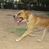 Tyson (oldest top pit bull at the park: 1 yr, 2 mo. great clown: powerful - athletic) ************